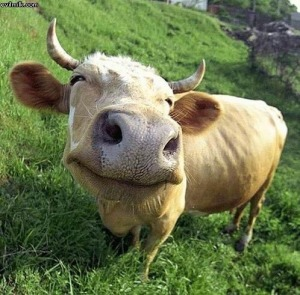 It's a happy cow!